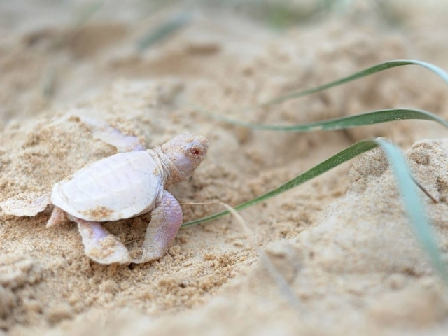Surprise! This Baby Green Turtle Isn't Green At All