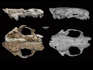 Remains of wolf-like ancient otter discovered