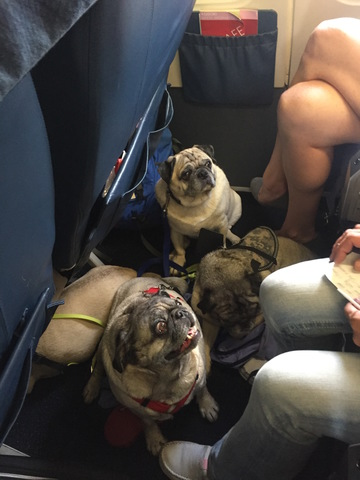 Image of: Landlord Emotional Support Dogs Are Different They Make Person Feel Better And The Law Says Theyre Allowed In Places Of Housing And On Airplanes Abc15 Arizona Fake Service Animals Attacking People