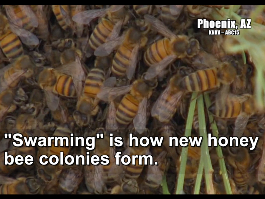 Honey Bees Swarm Season is Spring