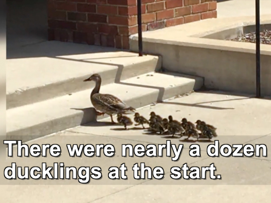 Baby Ducklings Rescued-