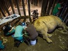 IVF could save the northern white rhino