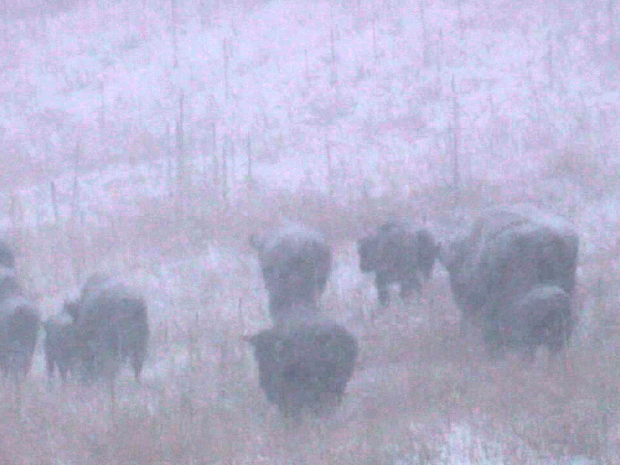 American Bison enjoy the snow and other fun facts