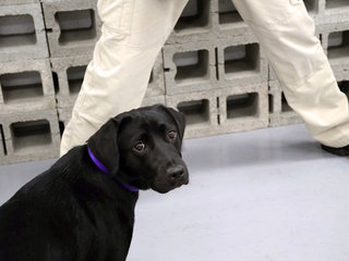 Good dog is bad at sniffing bombs, CIA says
