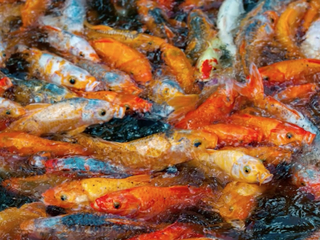 Goldfish as an invasive species? It's happening